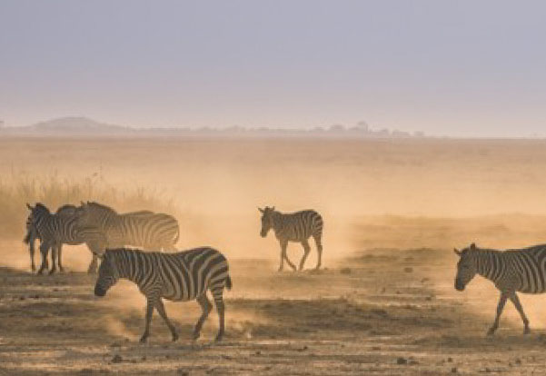 Photo of zebras on a dusty plain