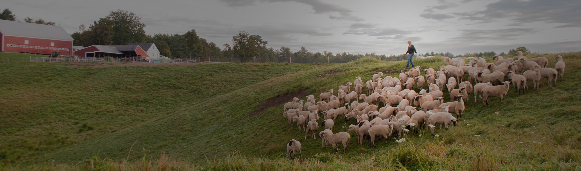 Outdoor rural farm scene showing flock of sheep and farmer.