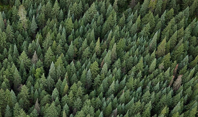 Bird's-eye view of an evergreen forest