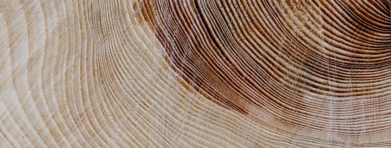 Cross-section of tree showing rings