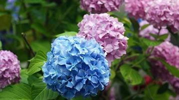イメージ: あじさいの花