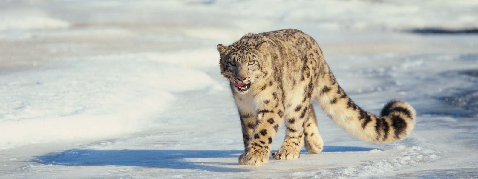 Snow leopard walks across snowy field.