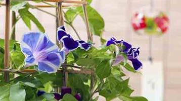 イメージ: アサガオの花