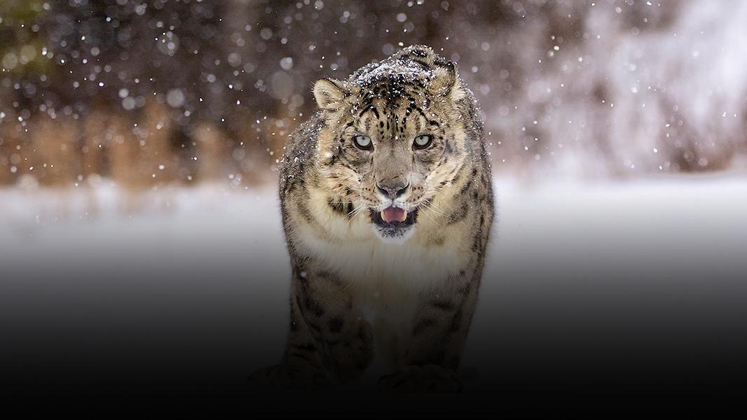 Panthère des neiges se faufilant dans la neige.