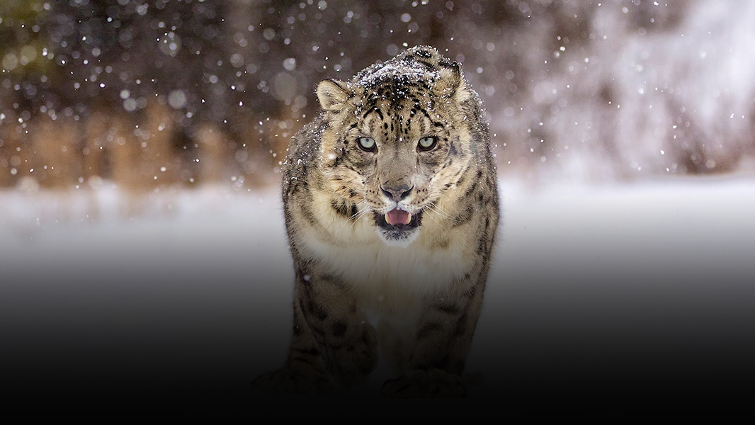 Snow leopard stalks through snow.