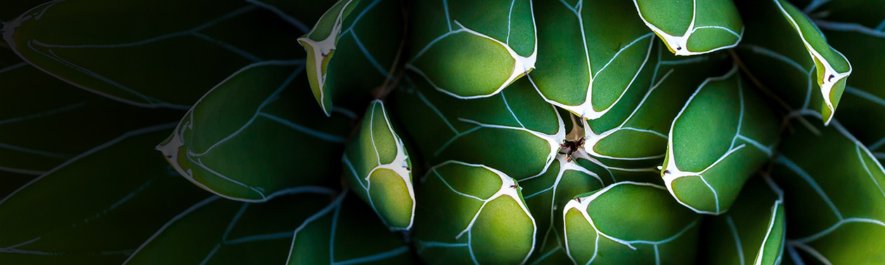 Close-up of Queen Victoria Agave.