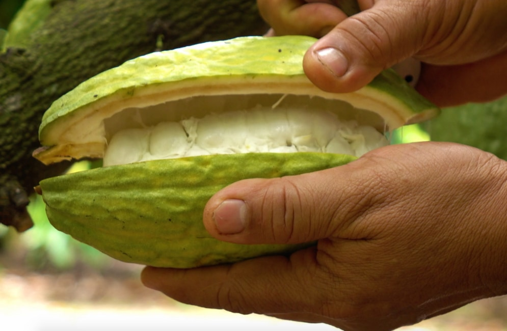 Close-up of a person's hands as they open a cacao pod.
