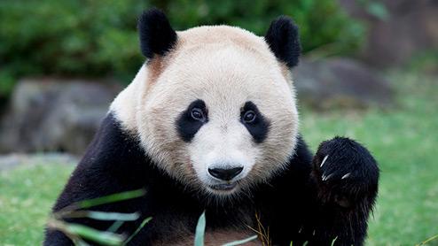 Panda in a zoo exhibit
