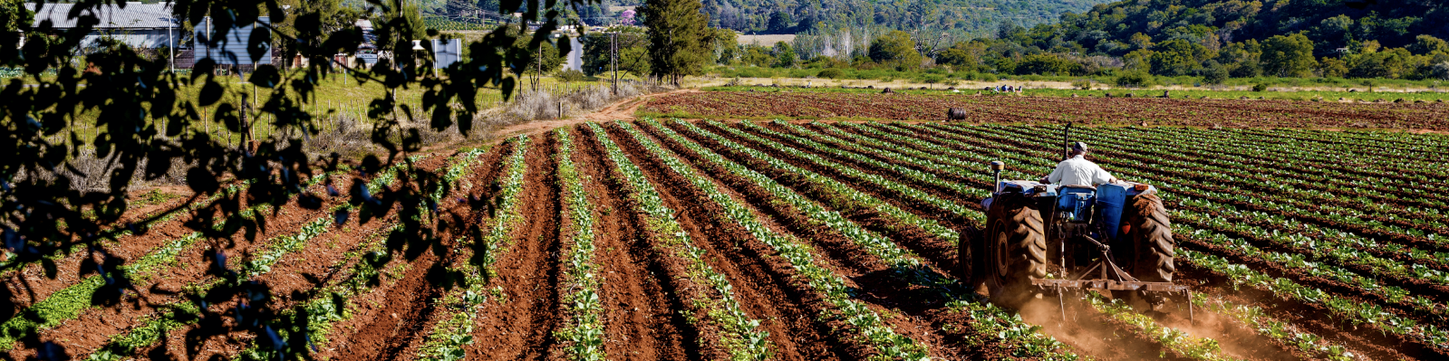 A tractor driving across rows of growing vegetation.