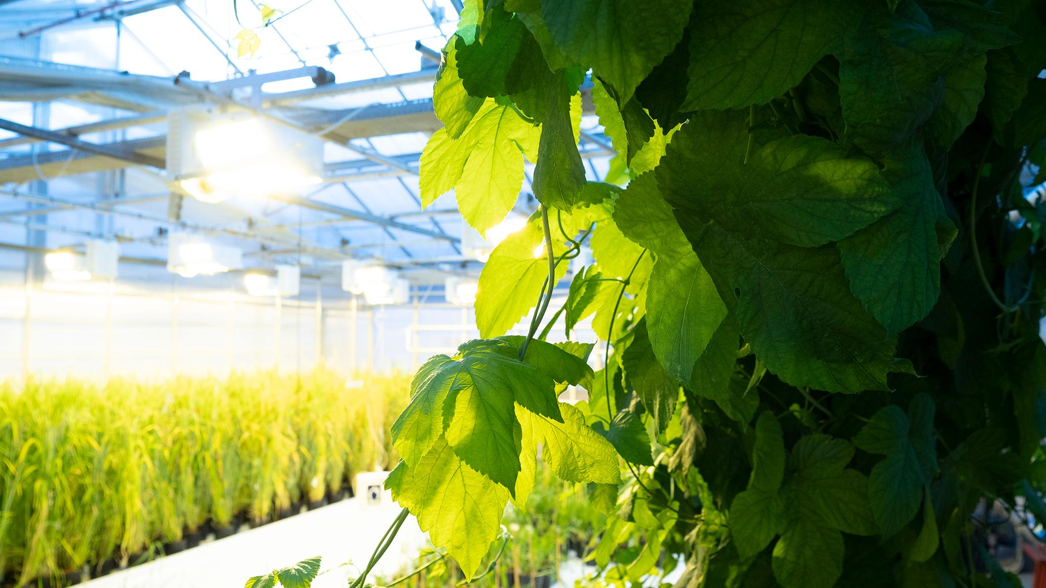 Carlsberg Brewery's greenhouse laboratory.